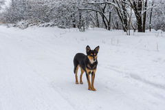 Black dog standing on a snowy earth road looking around Stock Photography