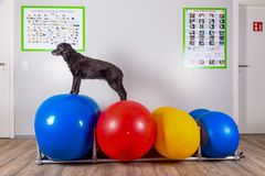 Black dog stands on balls in therapy Stock Photo