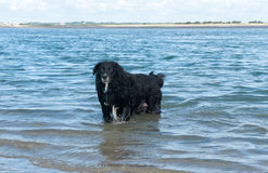Black dog stands in the water Royalty Free Stock Image