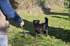 Black dog and stick. Black dog is waiting for his stick to drop stock images