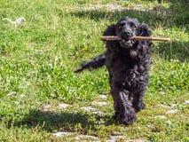 Black dog with stick stock image