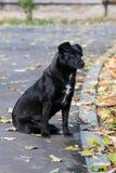 Black dog in autumn season. Black dog on the street in autumn season Stock Image