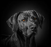 Black dog. A studio shot of a black dog Stock Image
