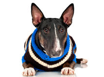 Black dog in a sweater isolated Stock Photo