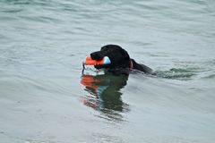 Black dog swimming retrieving a toy out of the water. Large Black dog swimming and retrieving a toy out of the water at dog beach in Southern California Stock Images