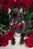 Black dog with tie and red rose Royalty Free Stock Photography