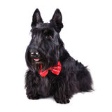 Black dog in tie Stock Image