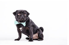 Black dog with a tie Royalty Free Stock Photo