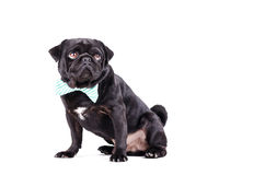 Black dog with a tie Stock Photos