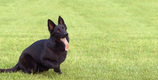 Black Dog with Tongue Waging. This is a police working dog eagerly awaiting commands Stock Photography