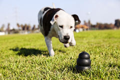 Running to Dog Toy on Park Grass. A black dog toy at the front of the frame, with a blurred Pitbull running towards it Royalty Free Stock Photography