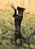 Black dog Royalty Free Stock Image