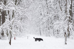 A black dog on the trough the forest in the snow in winter. A black dog on the trough the forest in the snow in winter Stock Photo