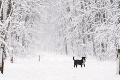 A black dog on the trough the forest in the snow in winter. A black dog on the trough the forest in the snow in winter Stock Photos