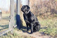 Black dog waiting at the fence. Stock Image