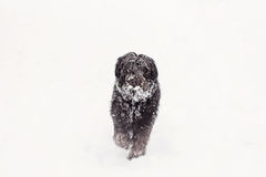 Black dog walking in the snow Royalty Free Stock Photography