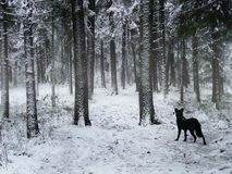 Black dog walking in winter forest Royalty Free Stock Photos