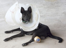 Black dog royalty free stock photography