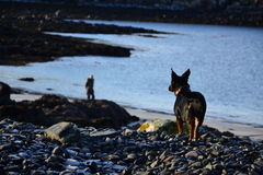 Awaiting dog. Black dog watching it's owner Stock Images