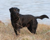 Black dog by the water Stock Image