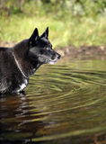 Black dog in water Royalty Free Stock Photos