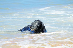 Black dog in the water Stock Photo