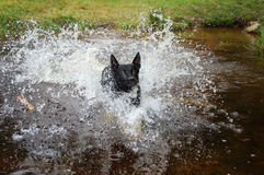 Black dog in water splashing around Stock Image
