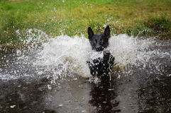 Black dog in water splashing around Royalty Free Stock Photography