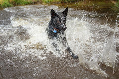 Black dog in water splashing around Royalty Free Stock Image