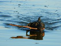 Black dog in the water with the stick Stock Photo