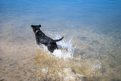 Black Dog In The Water. The dog in the water, swim, splash Stock Photos