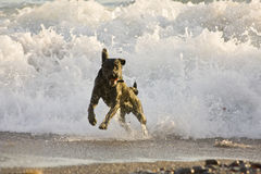 The black dog and the waves Royalty Free Stock Photography