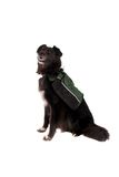 Black Dog Wearing a Backpack. A black dog, German Shephard and Boarder Collie cross, sitting on white, wearing a backpack Royalty Free Stock Photography