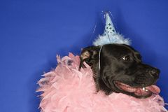 Black dog wearing party hat Royalty Free Stock Photo