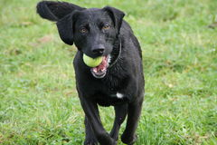 Black dog went swimming and is playing with a ball Royalty Free Stock Photography