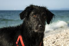 Black dog with wet fur on the pebbles by the sea. stock photos