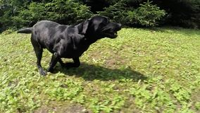 Black dog. stock video footage