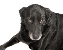 A black dog on white background Royalty Free Stock Images