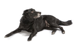 A black dog on white background Stock Photos