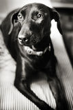 Black dog. Black and white photo of stoic dog Royalty Free Stock Image