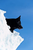 Black dog on white snow. Black mixed breed dog sitting on a mountain of snow with a clear blue sky in the background Stock Photography