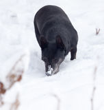 Black dog on the white snow. Photo taken by professional camera and lens Royalty Free Stock Photography