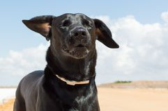 Black dog in the wind. Black dog giving the wind in the salt flats in Sanlucar de Barrameda on August 27, 2017 stock photos