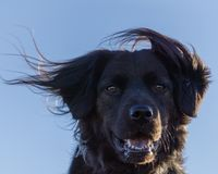 Black Dog With Wind in His Hair. On a windy day in Colorado Royalty Free Stock Photo