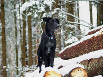 Black dog (10) Stock Photography