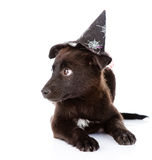Black Dog with witch hat for halloween. isolated on white Stock Photo