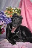 Black dog yawns Royalty Free Stock Images
