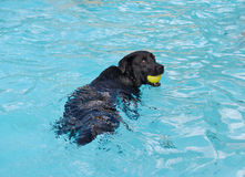 Black dog with yellow ball in water Royalty Free Stock Photos