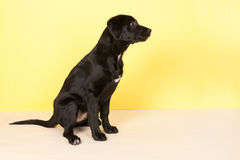 Black dog on yellow Royalty Free Stock Photography