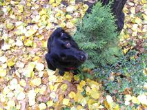 Black dog on yellow and dry leaves in autumn royalty free stock photos